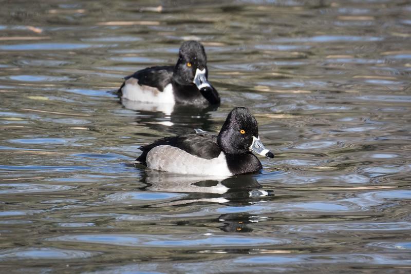 Ring-necked duck, Aythya collaris