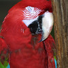 Green Winged Macaw, Ara chloroptera