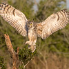 Great horned owl, Bubo virginianus