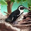 Jackass penguin, Spheniscus demersus