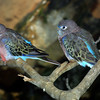 Bourke's Parrot, Neophema bourkii
