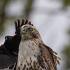 Red-tailed hawk, Buteo jamaaicensis