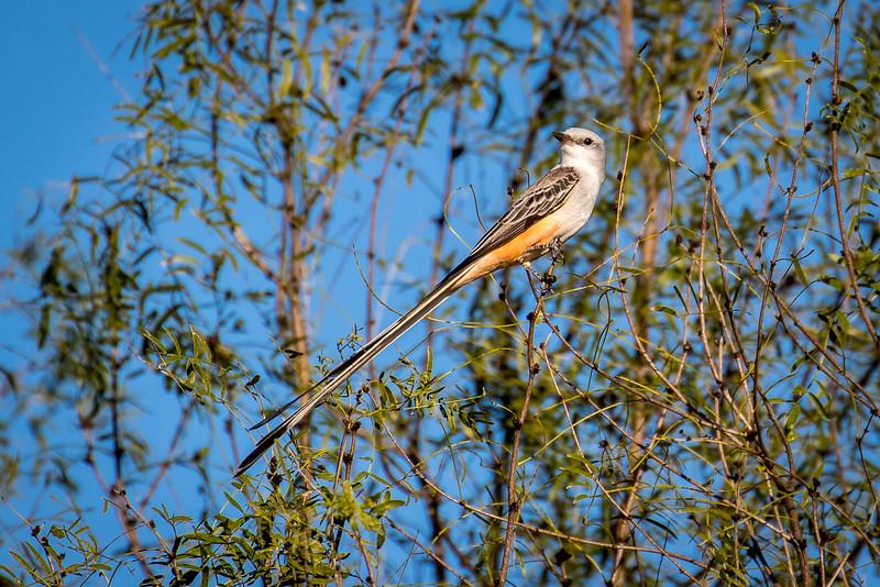 Scissor-tailed flycatcher, Tyrannus forficatus