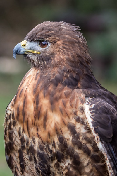 Red-tailed hawk, Buteo jamaicensis