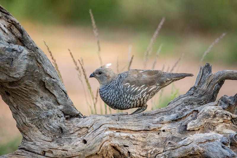 Scaled quail, Callipepla squamata