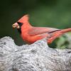 Northern Cardinal, Cardinalis cardinalis, male