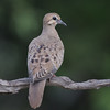 Mourning dove, Zenaida macroura, juvenile
