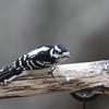 Downy woodpecker, Picoides pubescens,  female