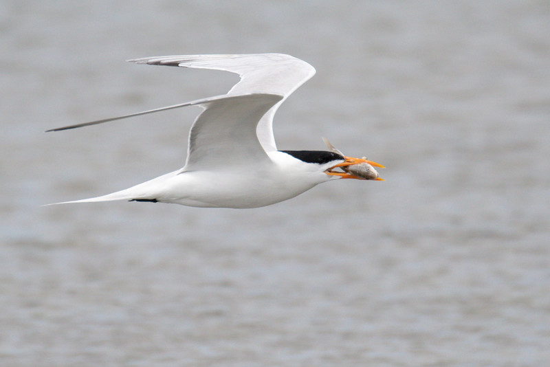 Royal tern, Thalasseus maximus