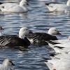 Snow goose, Chen caerulescens, dark phase, blue goose
