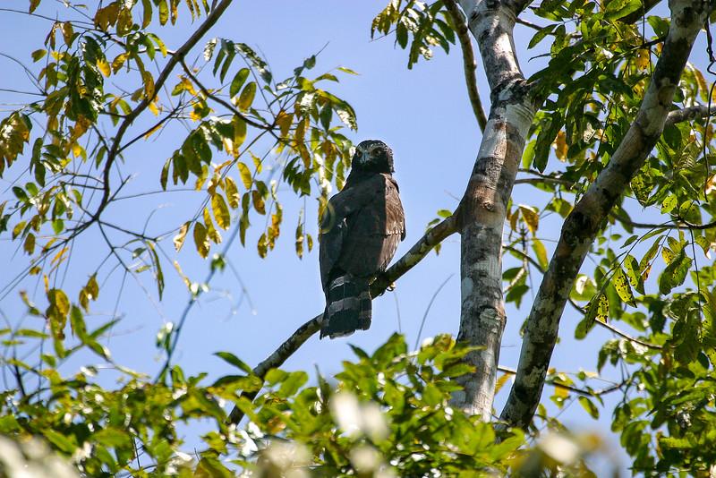 Black Hawk-Eagle, Spizaetus tyrannus