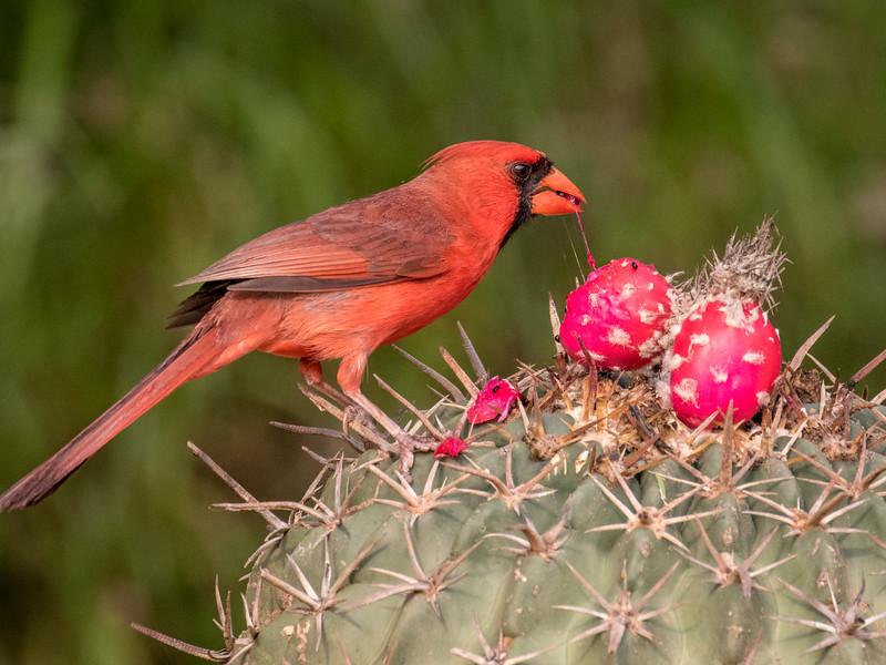 Northern cardinal, Cardinalis cardinalis, male, on Horse crippler cactus, Echinocactus texensis