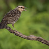 Red-winged Blackbird, Agelaius phoeniceus, female