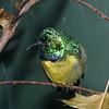 Collared sunbird, Anthreptes collaris