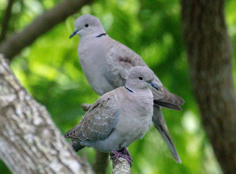 Eurasian collared-dove, Streptopelia decaocto
