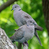 Eurasian collared-dove, Streptopelia decaocto