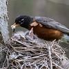 American robin, Turdus migratorious