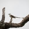 Scissor-tailed Flycathcer, Tyrannus forficatus