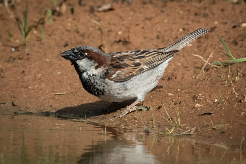 House sparrow, Passer domesticus, male