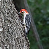 Red-bellied woodpecker, Melanerpes carolinus, male
