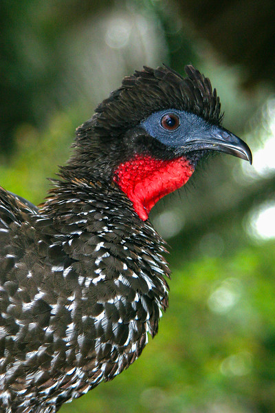 Crested Guan, Penelope purpurascens