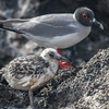 Swallow-tailed Gull, Larus furcatus