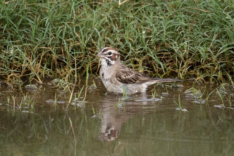 Lark sparrow, Chondestes grammacus