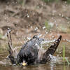 European Starling. Sturnus vulgaris