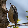Red-breasted nuthatch,  Sitta canadensis