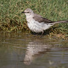 Northern Mockingbird, Mimus polyglotos