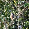 Roadside Hawk, Rupornis magnirostris