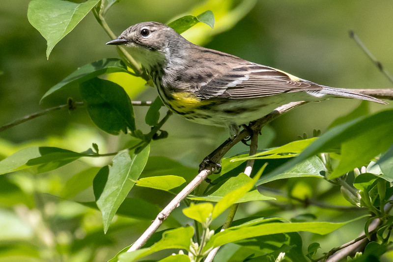 Yellow-rumped warbler, Dendroica coronata