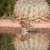 Long-billed Thrasher, Toxostoma longirostre