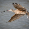 Long-billed curlew, Numenius americanus