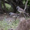 Black-throated Sparrow, Amphispiza bilineata