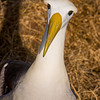 Waved Albatross, Phoebastria irrorata