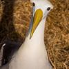 Waved Albatross, Phoebastria irrorata