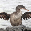 Flightess cormorant, Nannoterum harrisi