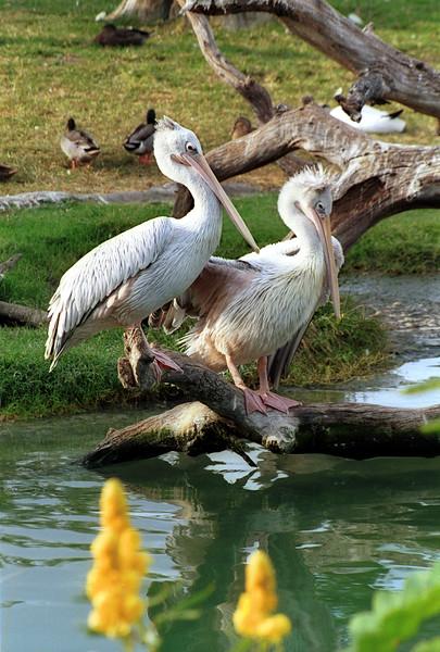 White Pelican, Pelecanus erythrorhyncos