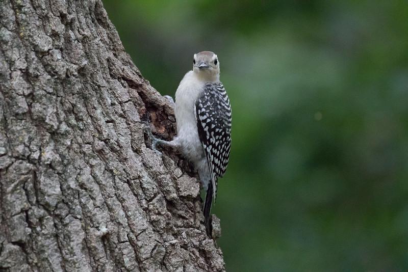 Red-bellied woodpecker, Melanerpes carolinus, juvenile
