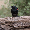 Red-winged Blackbird, Agelaius phoeniceus, male