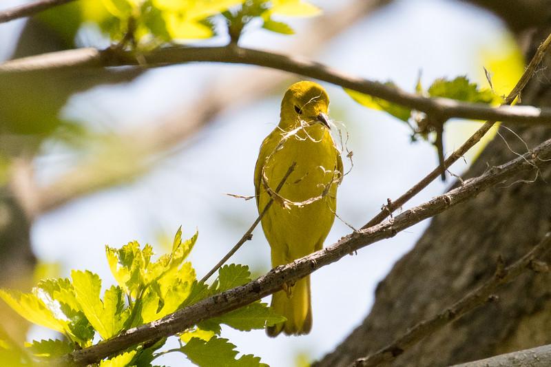 Yellow warbler, Setophaga petechia, female