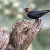 Brown-headed Cowbird, Molothrus ater