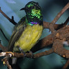 Collared Sunbird, Anthreptes collaris