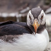 Horned puffin, Fratercula corniculata