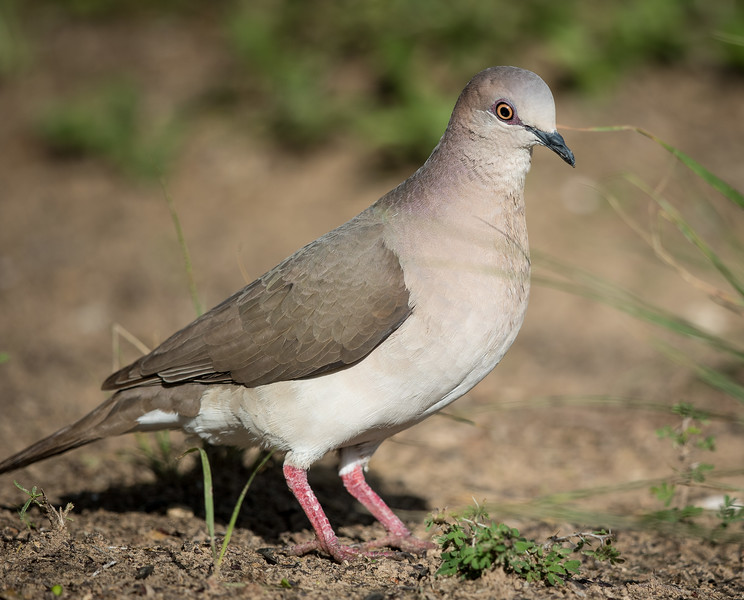 White-tipped dove, Leptotila verreauxi