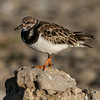 Rudy turnstone, Arenaria interpres