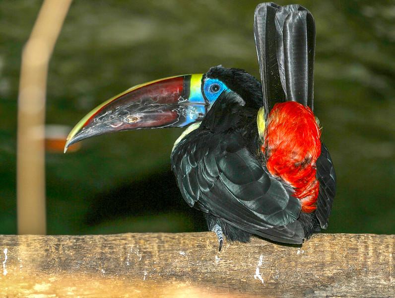 Red-billed Toucan, Ramphastos tucanus