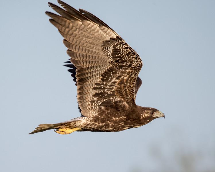 White-tailed hawk, Buteo albicaudatus