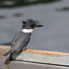 Belted kingfisher, Ceryle alcyan, female